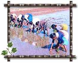 Pongal Harvest